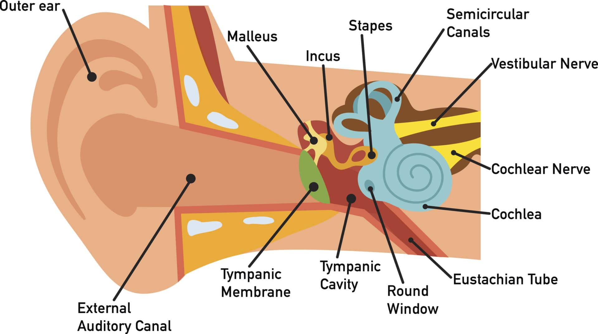 Parts Of The Ear Diagram